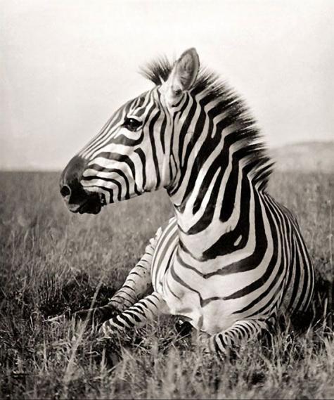 Fototapete Zebra EV1014