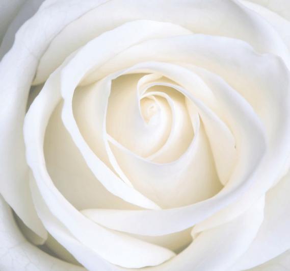 Mural New white rose EV1383