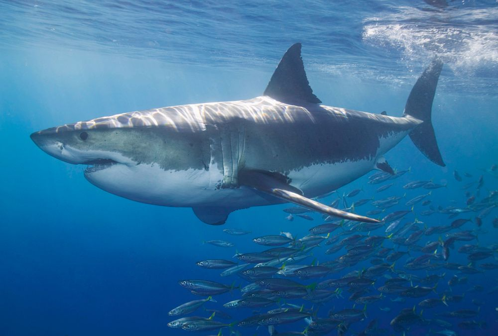 decowunder wallpapers wall mural white shark 470 097 ap